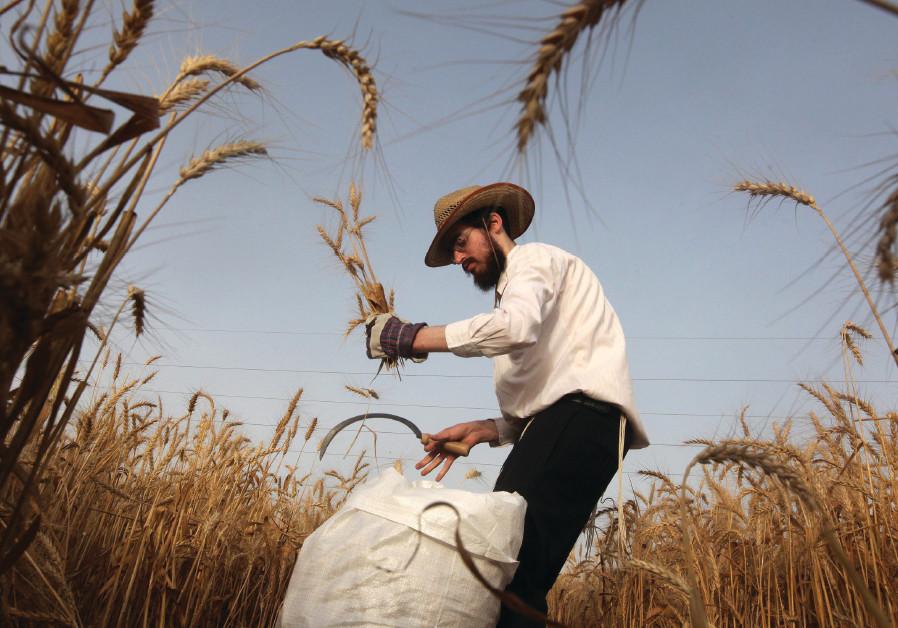 A FARMER harvests wheat in a field near Mevo Horon