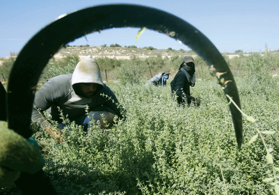 PALESTINIAN FARMWORKERS at a farm in the West Bank.