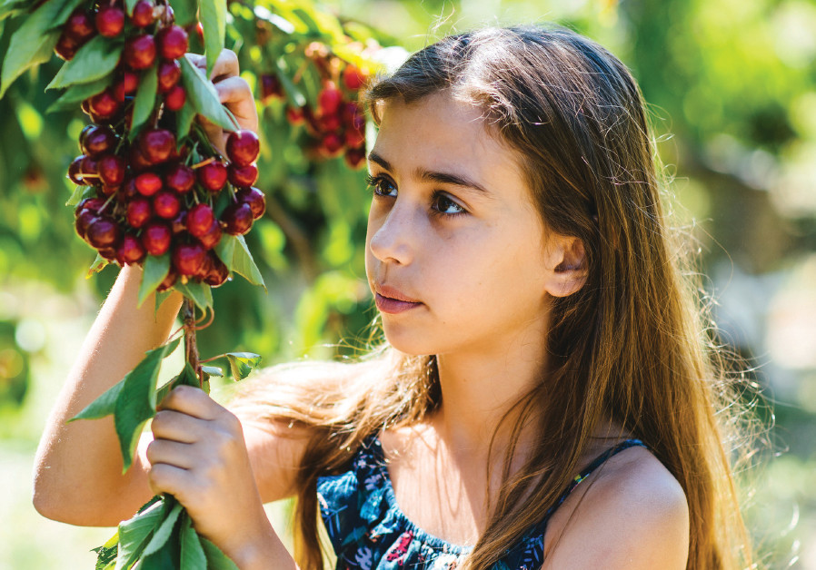 A young girl picks cherries