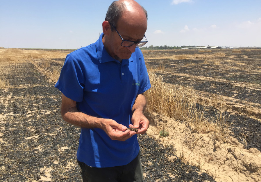 Daniel Rahamim , supervisor of irrigation at Kibbutz Nahal Oz holds burned wheat in his hand, June 4, 2018