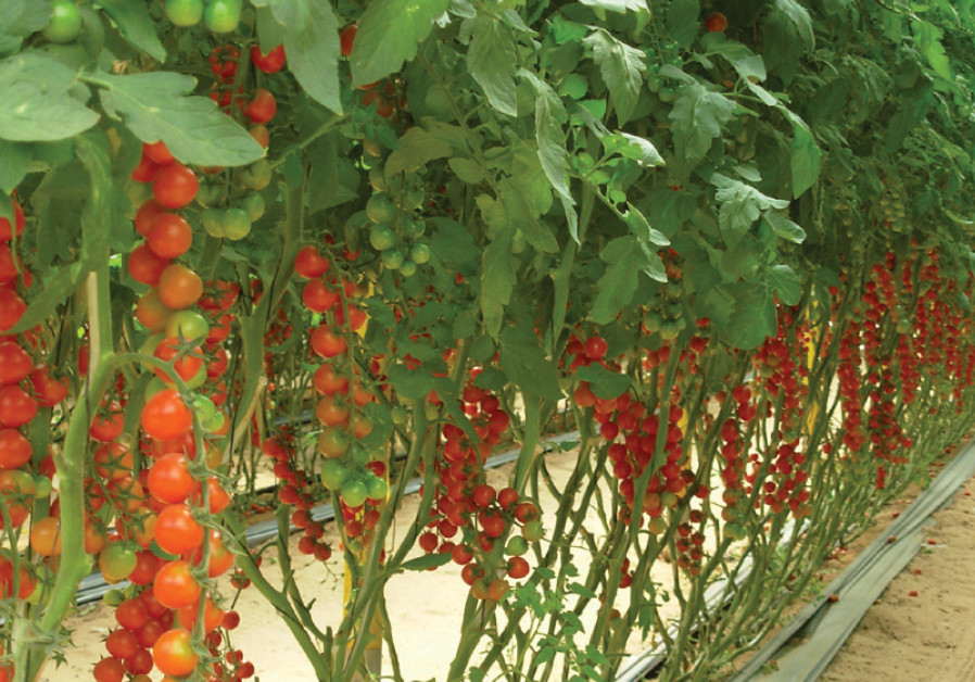 CHERRY TOMATOES grow in a hothouse at Moshav Be'er Milka