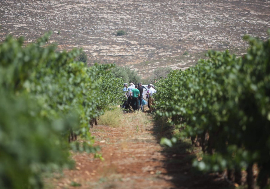 A vineyard in the West Bank, July 4 2018