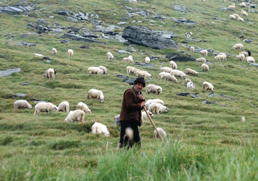 A shepherd keeps watch over his grazing sheep in the Romanian mountain