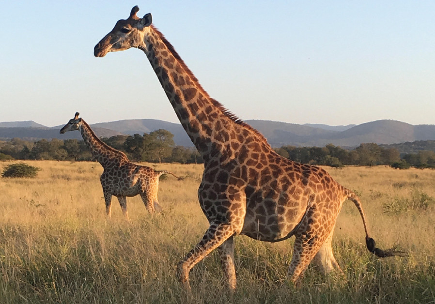 Mesmerizing: Giraffe in a game reserve north of Durban in KwaZulu-Natal, South Africa