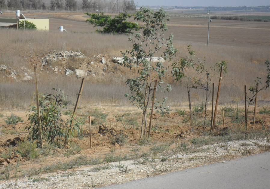 Growing Eucalyptus trees planted along the road of Kibbutz Mifalsim for security