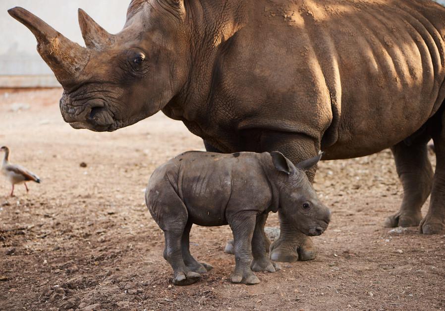 Baby female rhino born in Ramat Gan safari (September 17, 2018).