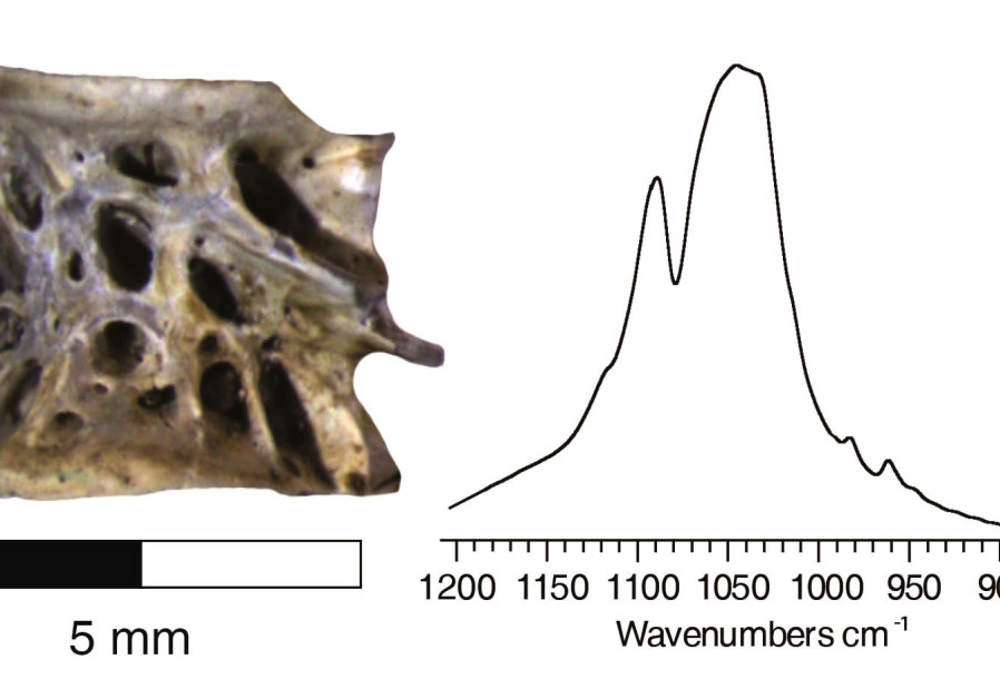 Whitlockite and beta magnesium tricalcium phosphate minerals are documented  in the infrared spectra of archaeological Atlantic salmon bone (University of Haifa)
