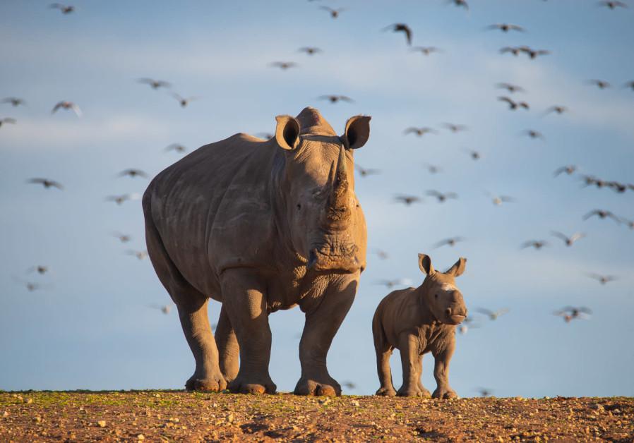 Mazal Tov! Baby rhino born at Ramat Gan Safari