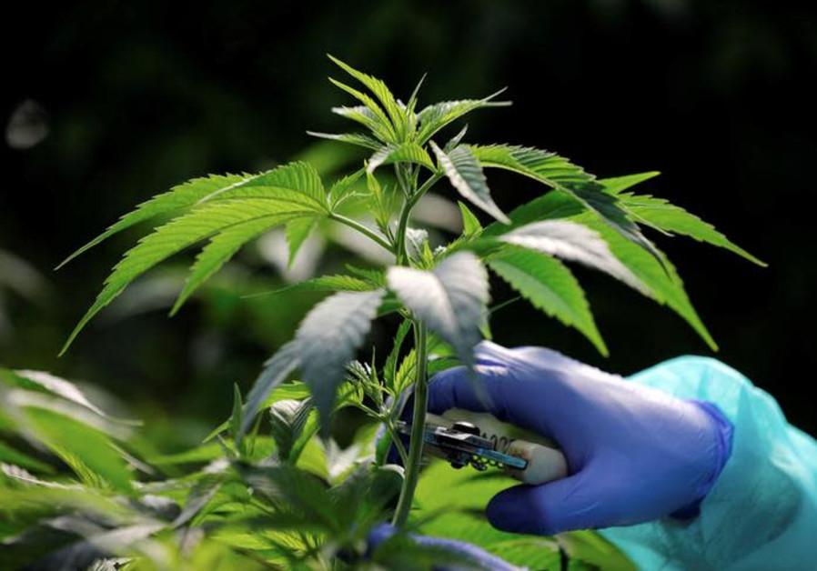An employee tends to a medical cannabis plants at Pharmocann, an Israeli medical cannabis company