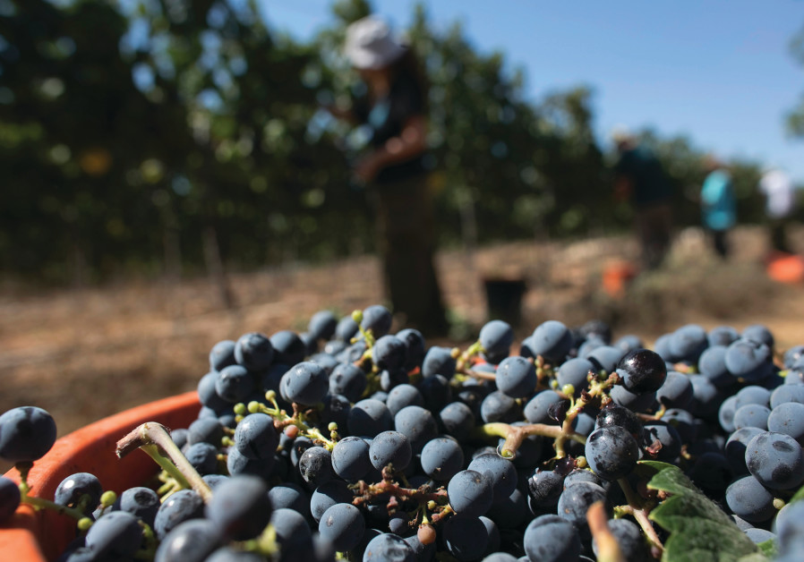 MORE THAN 15,000 acres are under grape cultivation around Israel, resulting in some 40 million bottl