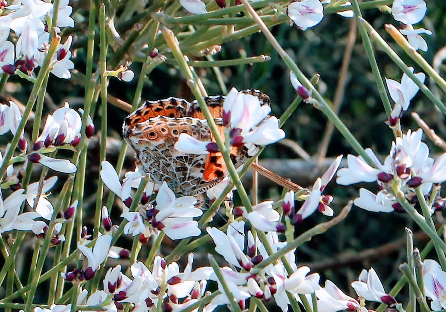 A butterfly nestled among flowers at the Iris Reserve in Netanya