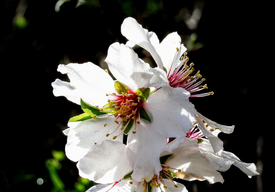 Almond blossoms in the Arazim Valley in the Jerusalem District. Credit: RICHARD SHAVEI-TZION