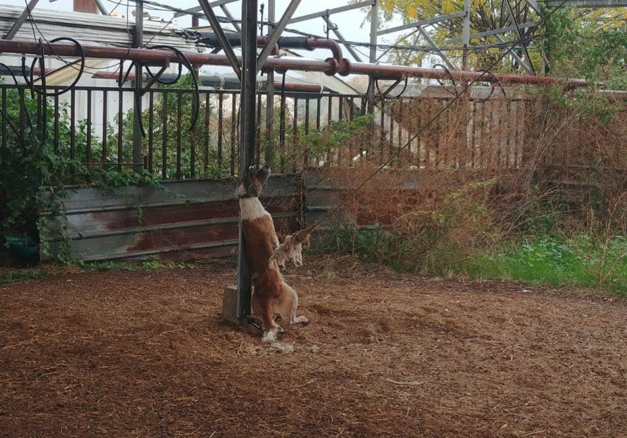 A dog is hung to death by a metal chain.