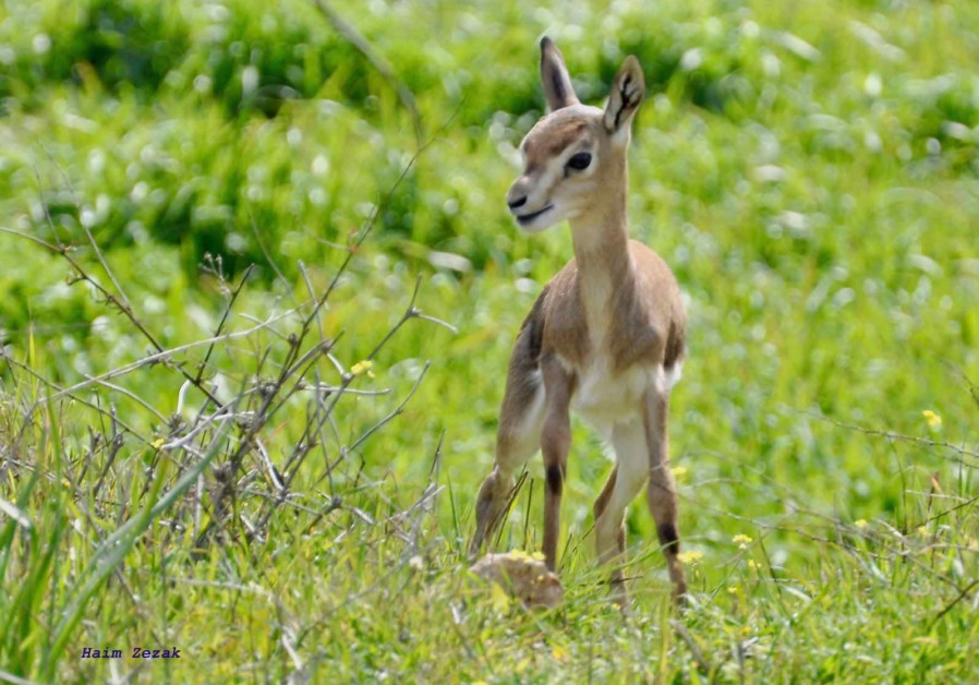 Jerusalem deer park welcomes new fawn born on Valentine's Day