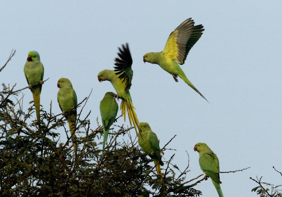 'Opium-addicted' parrots terrorize Indian poppy farmers