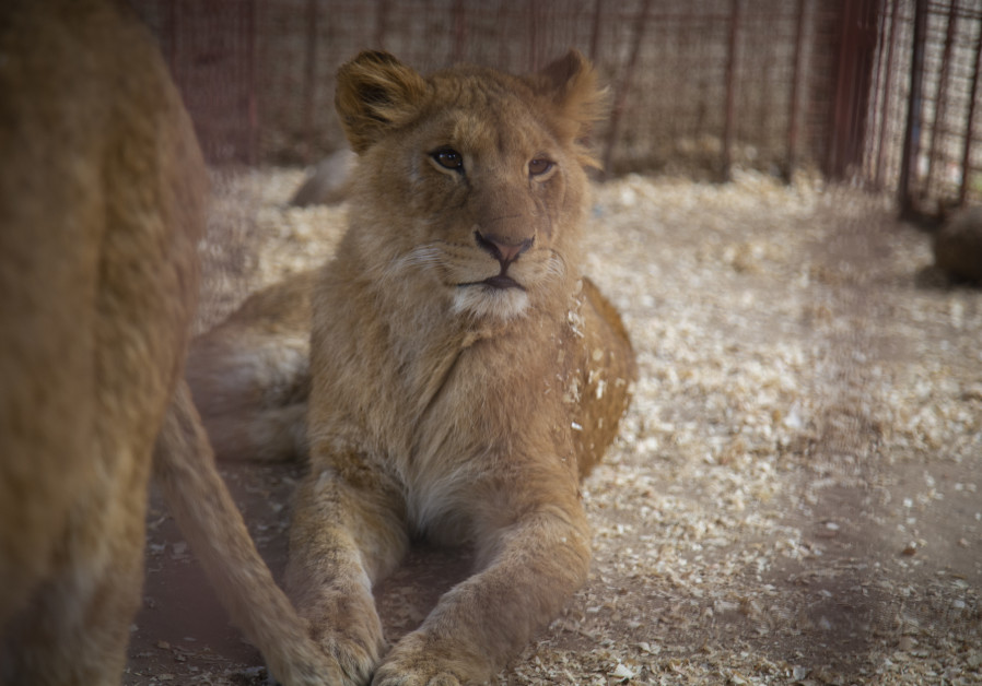 'Four Paws' calls on Gaza zoo to stop declawing lions