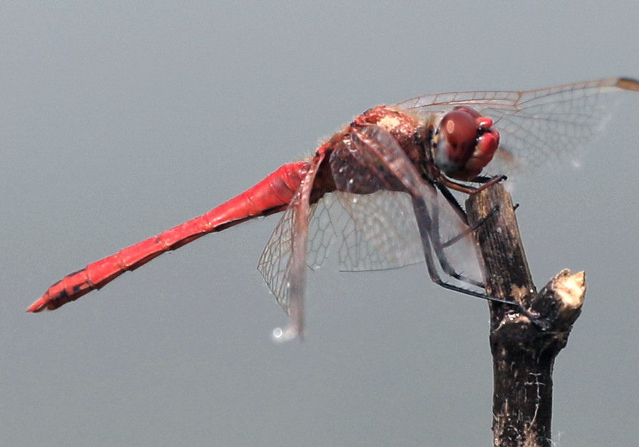 Not tonight, I'm dead – How female dragonflies avoid male harassment