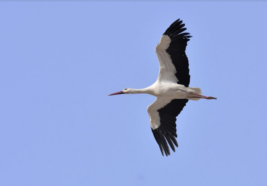 Storks gather in Dudaim park in thousands as they fly to Europe
