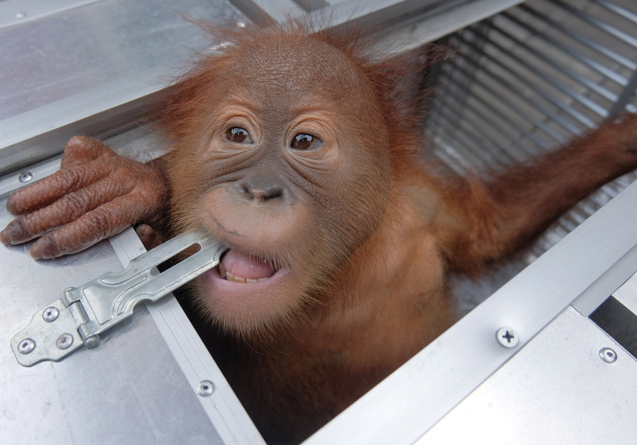 Not a baby: Tourist arrested after trying to smuggle two-year-old ape