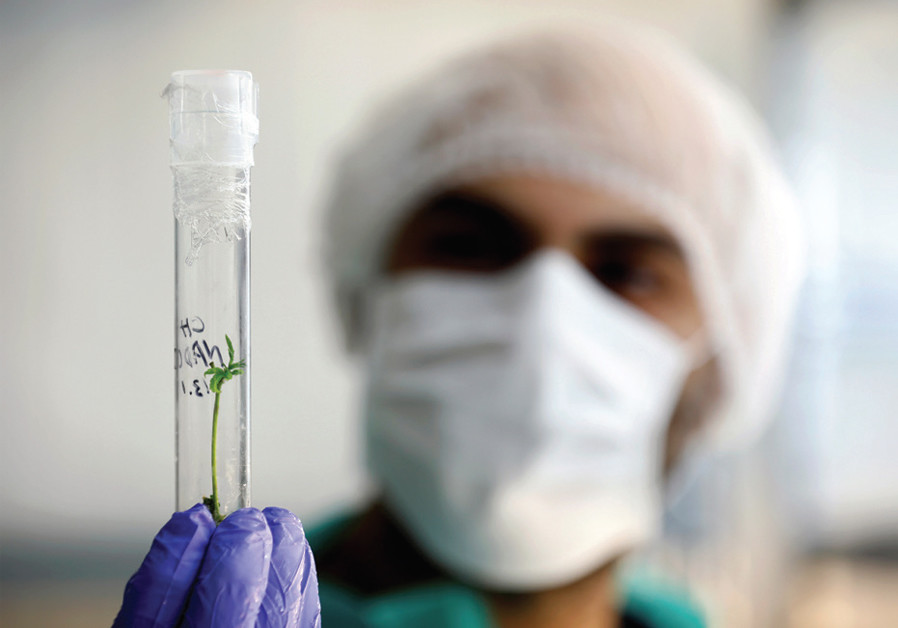 AN EMPLOYEE holds a test-tube as he works in the tissue culture laboratory of Pharmocann, an Israeli medical cannabis company in the North. (Reuters)