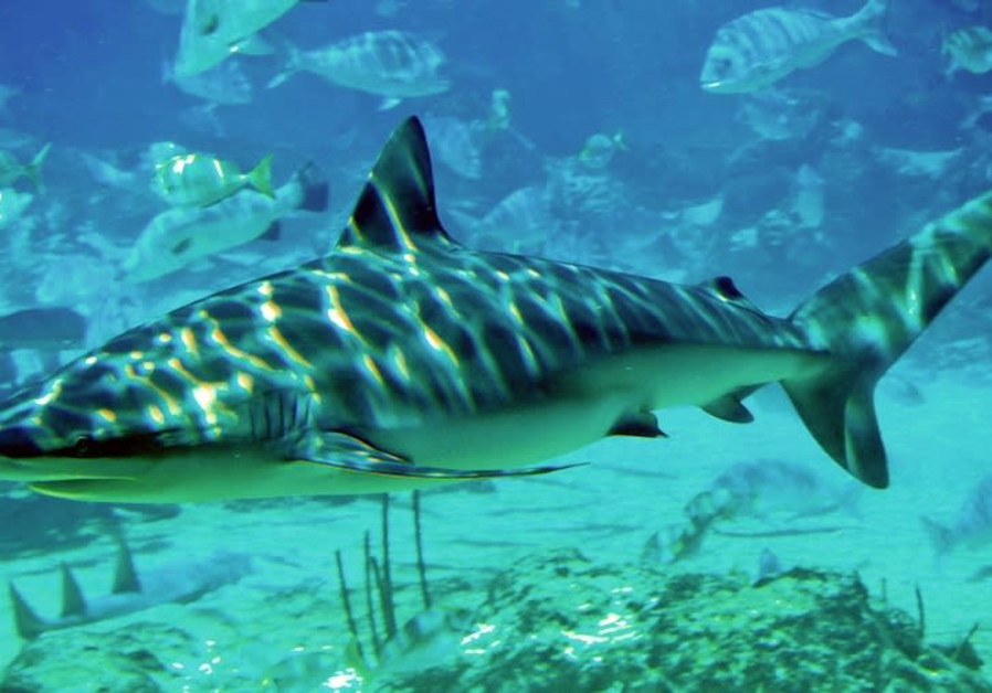 Shark shark (Carcharhinus obscurus) at SeaWorld, Queensland