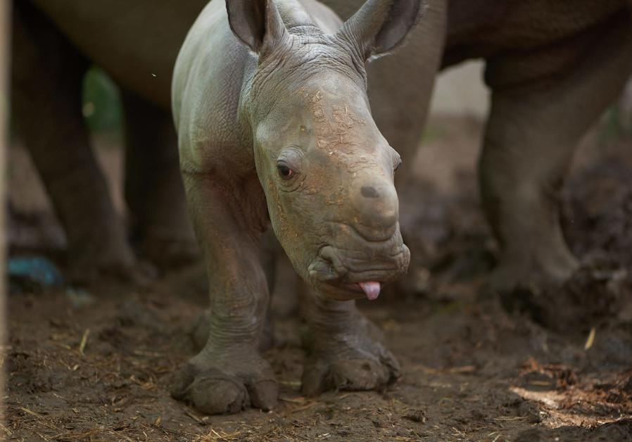 Ramat Gan Safari's newest baby rhino finally has a name