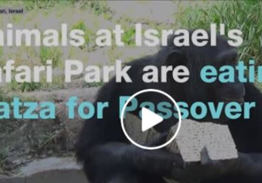 Monkeys eating matzah - watch
