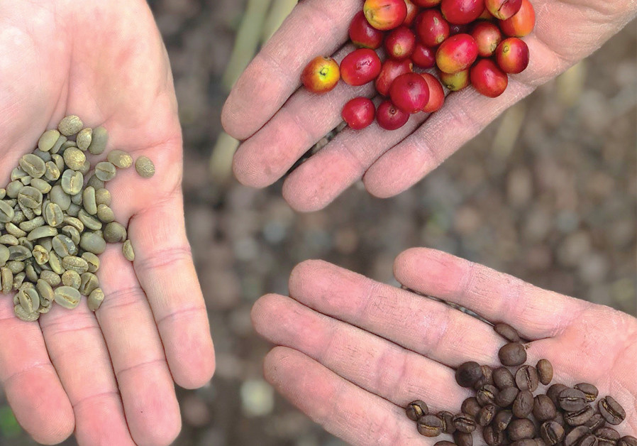 CAFFEINE ADDICTS can head to Finca Los Castanos to learn how coffee beans are grown and roasted. (Credit: MEITAL SHARABI)
