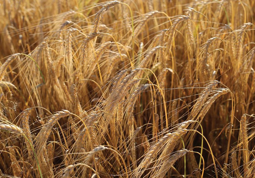 Seven weeks dreaming of barley in Jerusalem