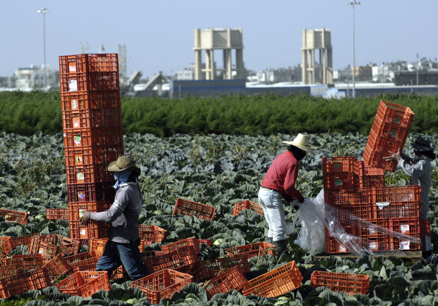 Thai labourers work on a cabbage field near Kibbutz Nahal Oz, just outside the northern Gaza Strip F