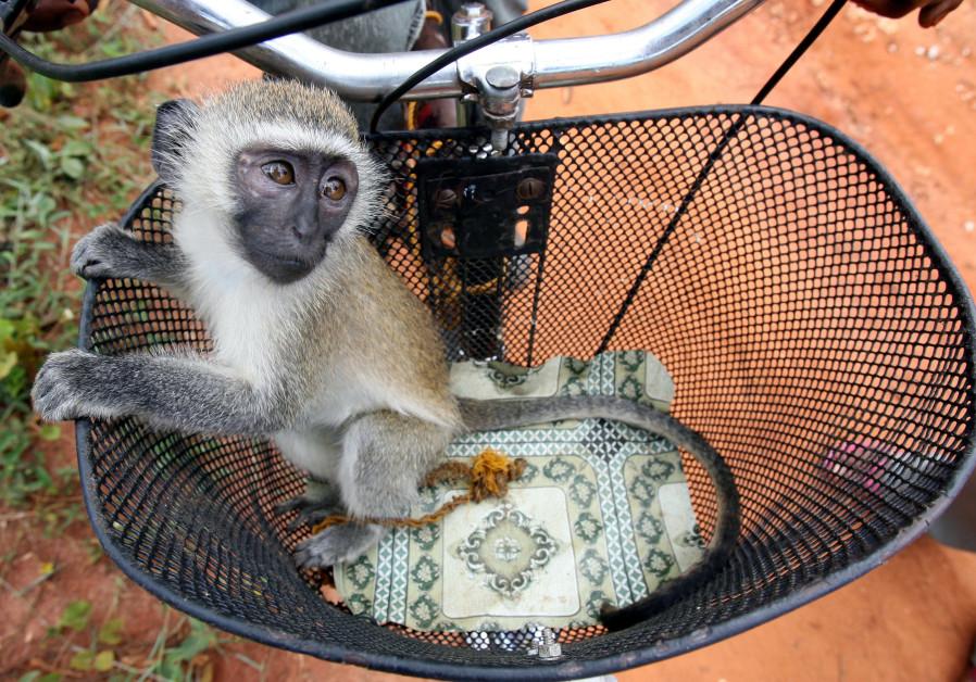 A baby vervet monkey in Zanzibar, November 2005