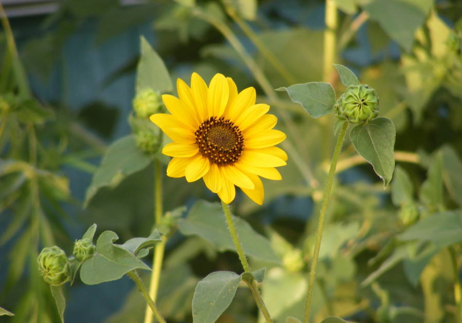 A wild sunflower