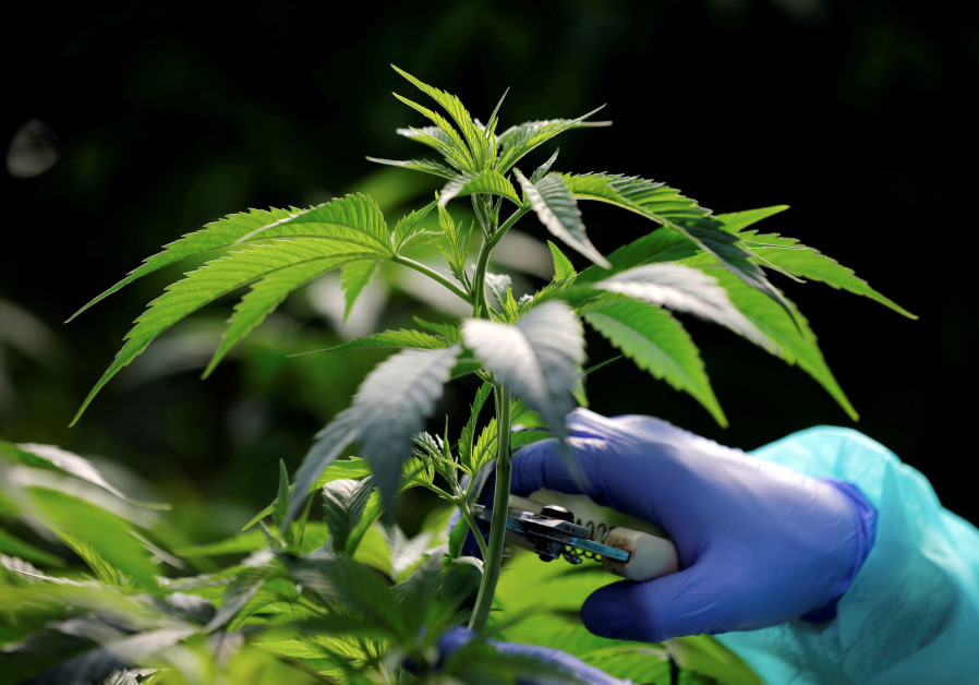 Employee tends to medical cannabis plants at Pharmocann, an Israeli medical cannabis company in nort