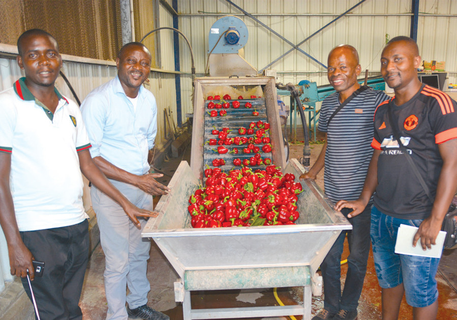 THE CONGOLESE team visits a pepper packing plant in the Arava desert, where they also saw some very advanced spirulina farms. (Credit: ARIEL KEDEM)