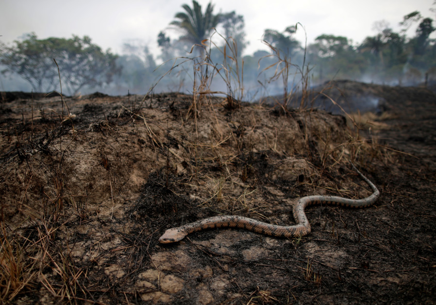 A snake is seen while a tract of the Amazon jungle burns as it is cleared by loggers and farmers in Porto Velho, Brazil August 24, 2019 (UESLEI MARCELINO/REUTERS)