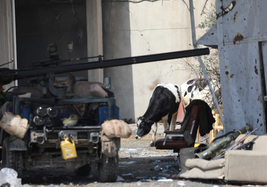 A cow grazes next to a vehicle of the Iraqi Federal Police parked in a position to fight ISIS