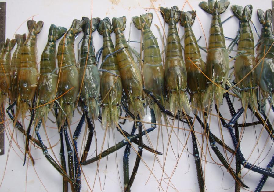 Ben-Gurion University develops disease-fighting 'super shrimp'