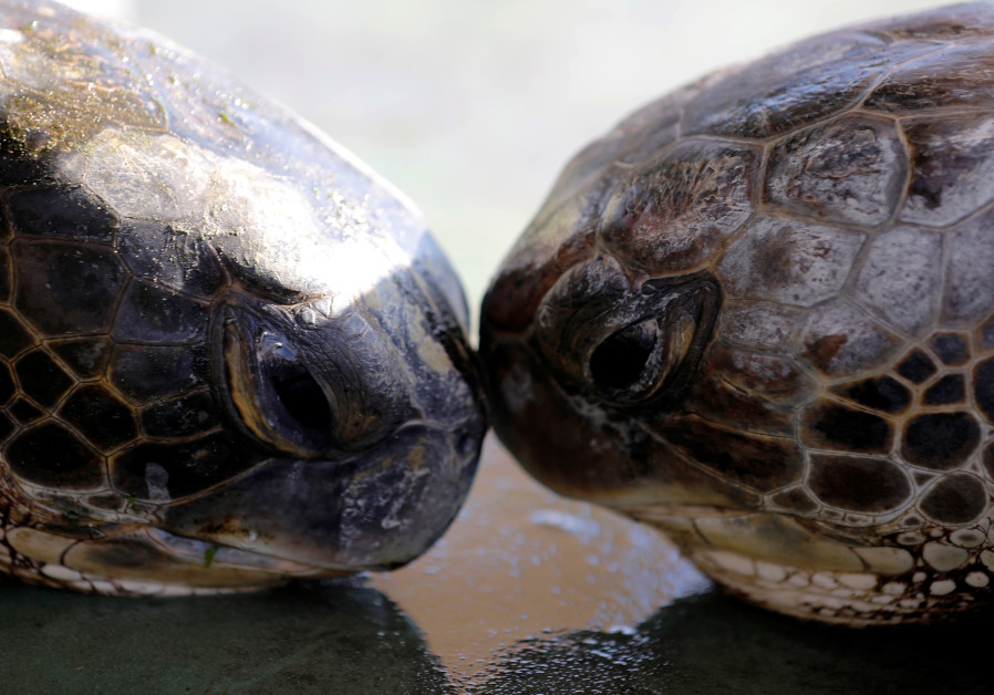 Endangered turtles bred in captivity in Israel to help save species