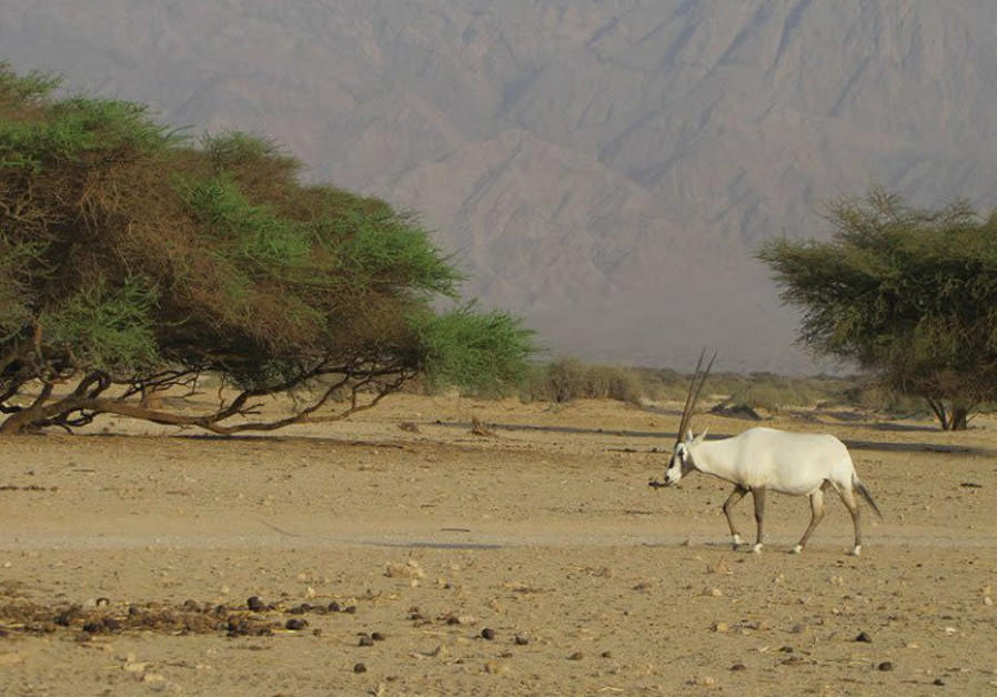 A white oryx (re'em) in Israel's Arava desert. Photo: Shlomi Chetrit / National Library of Israel