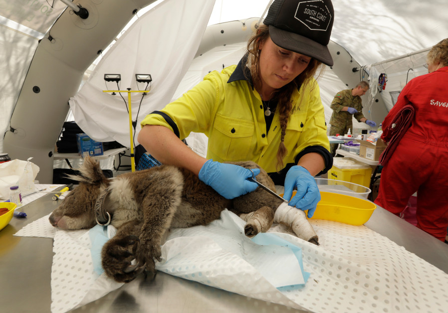 Emma Veritay, is a volunteer helping to tend to the wounds of koalas at the Kangaroo Island Wildlife Park, where a temporary medic tent has been set up to treat the animal bushfire victims. (photo credit: CAROLYN COLE/LOS ANGELES TIMES/TNS)