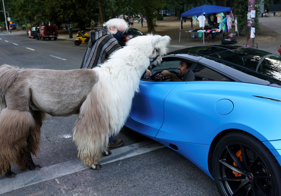 "Caesar McCool, a therapy llama nicknamed the ""No Drama Llama"" and his handler Larry McCool greet a driver in a McLaren at the site of ongoing protests against police violence and racial inequality, in Portland, Oregon, U.S, August 6, 2020. (Credit: Reuters)"