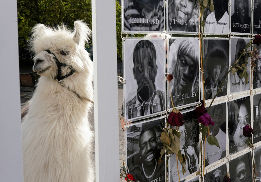"Caesar McCool, a therapy llama nicknamed the ""No Drama Llama"" is photographed in front of a memorial for Black Americans killed by police, in Portland, Oregon, US, August 6, 2020. Picture taken August 6, 2020. (Credit: Reuters)"