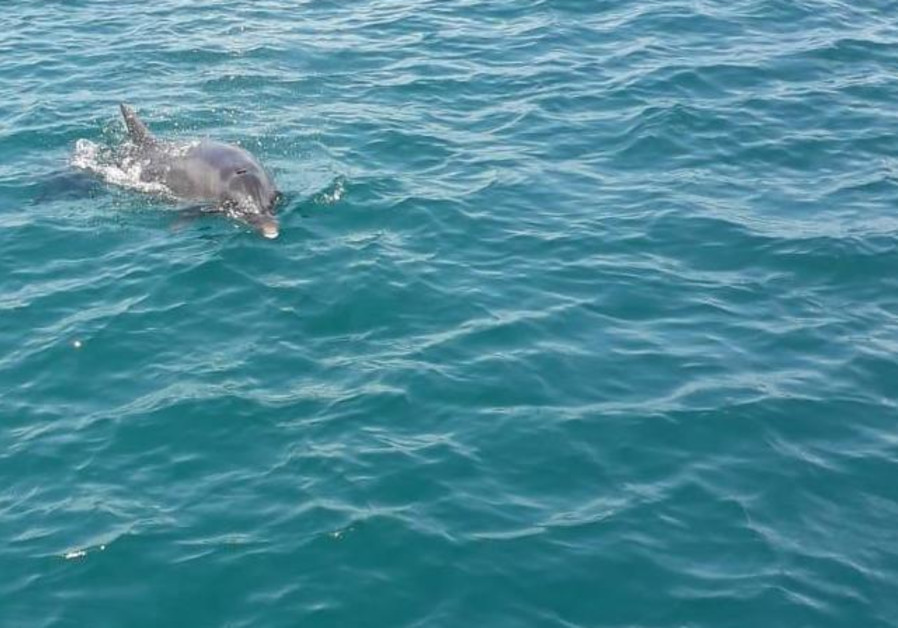 The common Mediterranean dolphin spotted off Haifa's coastline on August 8, 2020.