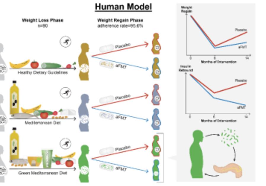 «Effets de la transplantation de microbiote fécal autologue modulé par le régime alimentaire sur la reprise de poids» Gastroentérologie 2020 (Crédit: Université Ben-Gurion)