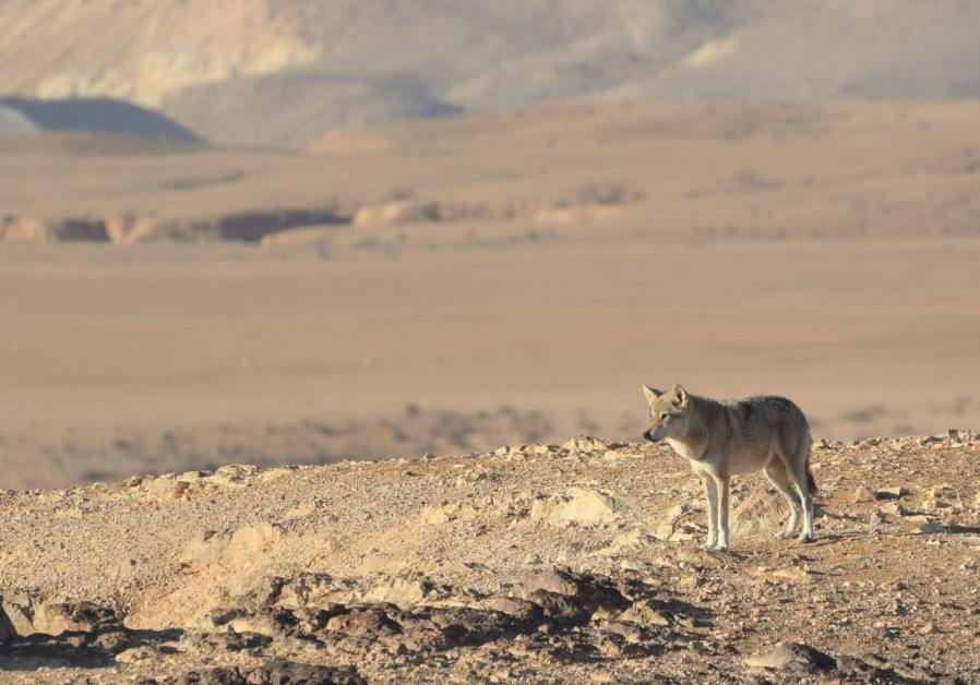Lone wolf in the Negev (Courtesy Haim Berger)