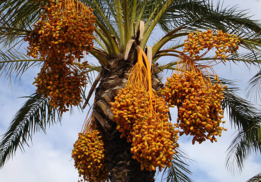 THE PALM weevil destroys astronomical quantities of date palms (like this one) around the globe. (Pixabay)