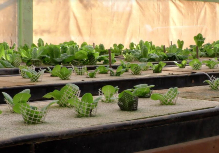 Plants: Aquaculture systems also help crops grow in desert climes. (Raymond Crystal/The Media Line)