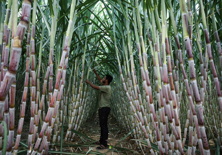 A man tends his family's sugar cane crop near Khan Yunis in the southern Gaza Strip in October. (Ali Jadallah/Anadolu Agency via Getty Images)