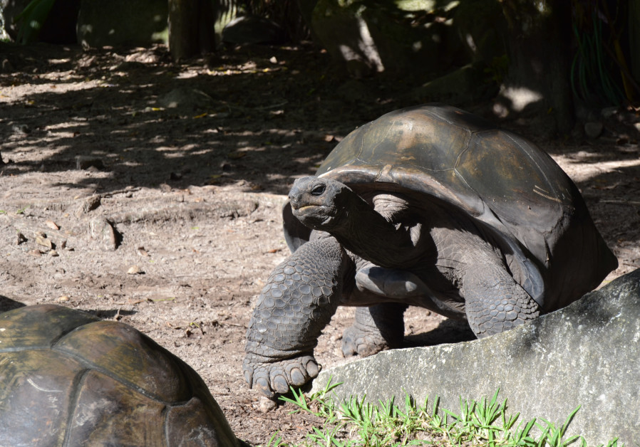 The Constance Ephelia Resort offers its guests the opportunity to witness and interact with Aldabra giant tortoises. (Credit: Tobias Siegal)