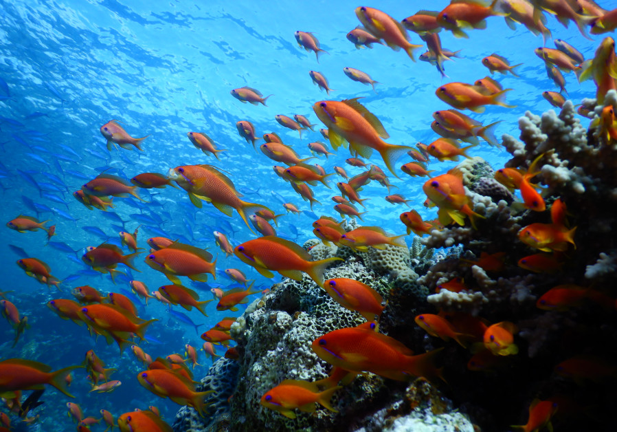 Coral reef of the Red Sea (Credit: Prof. Maoz Fine)